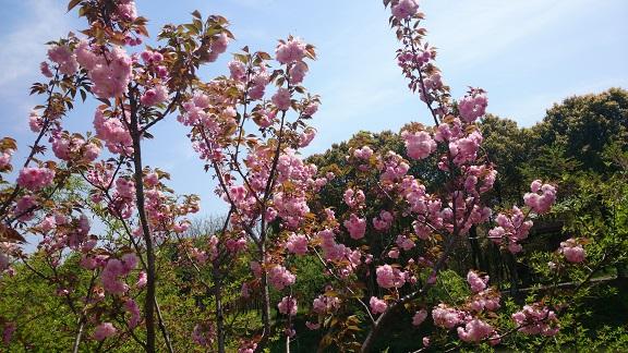 終わりかけの桜.jpg